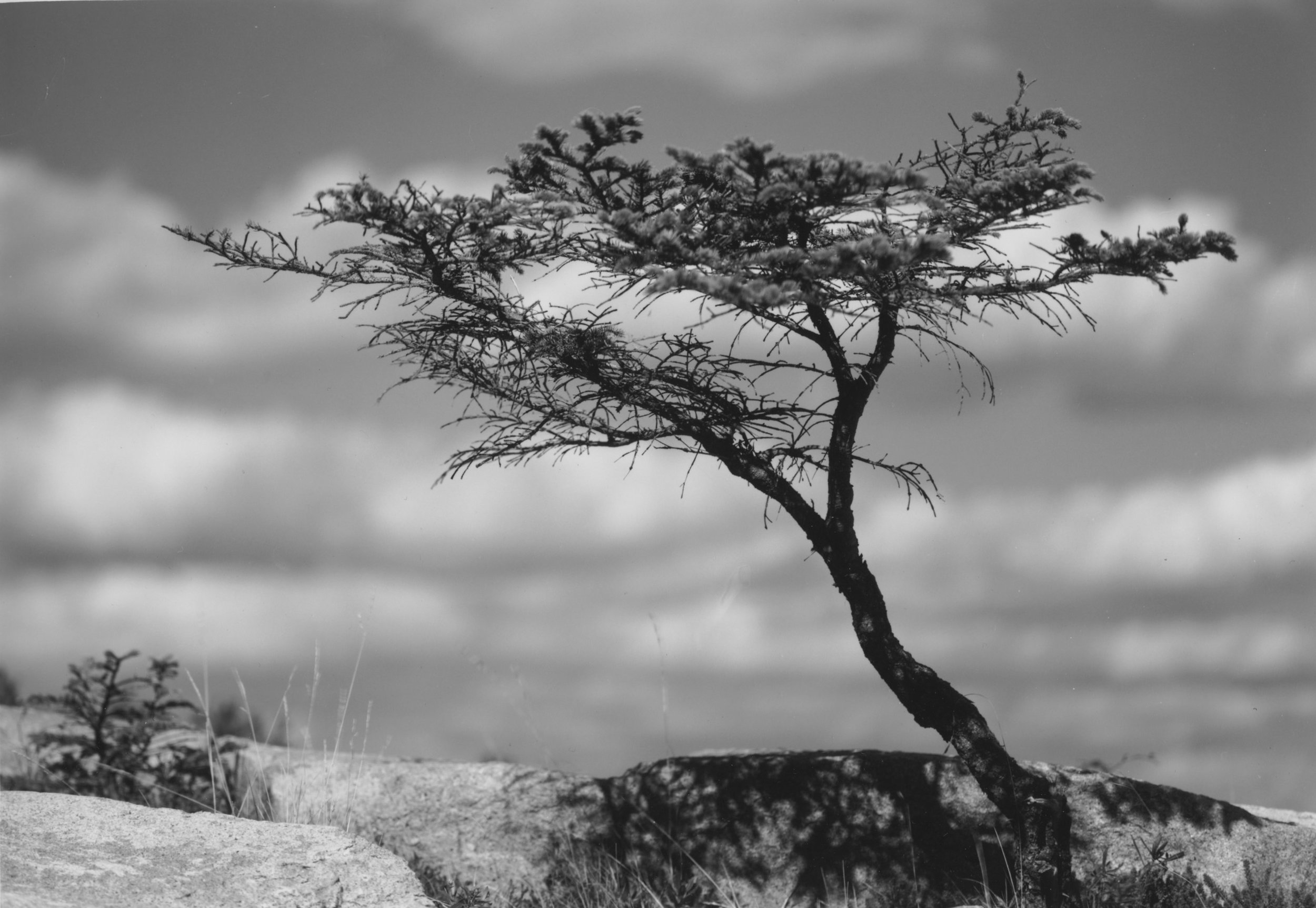 Sarah's Tree  Coastal Maine