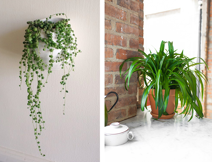 string of pearls & spider plant