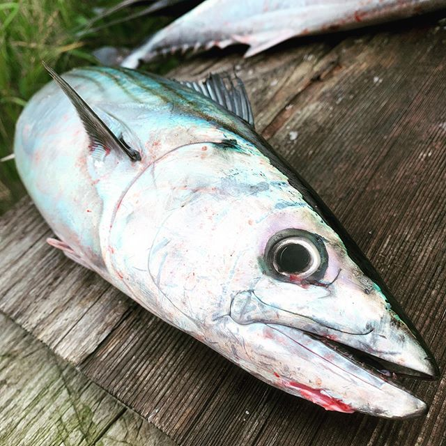 The bonito are running strong! #marthasvineyardfishing #supfishing #boteboards