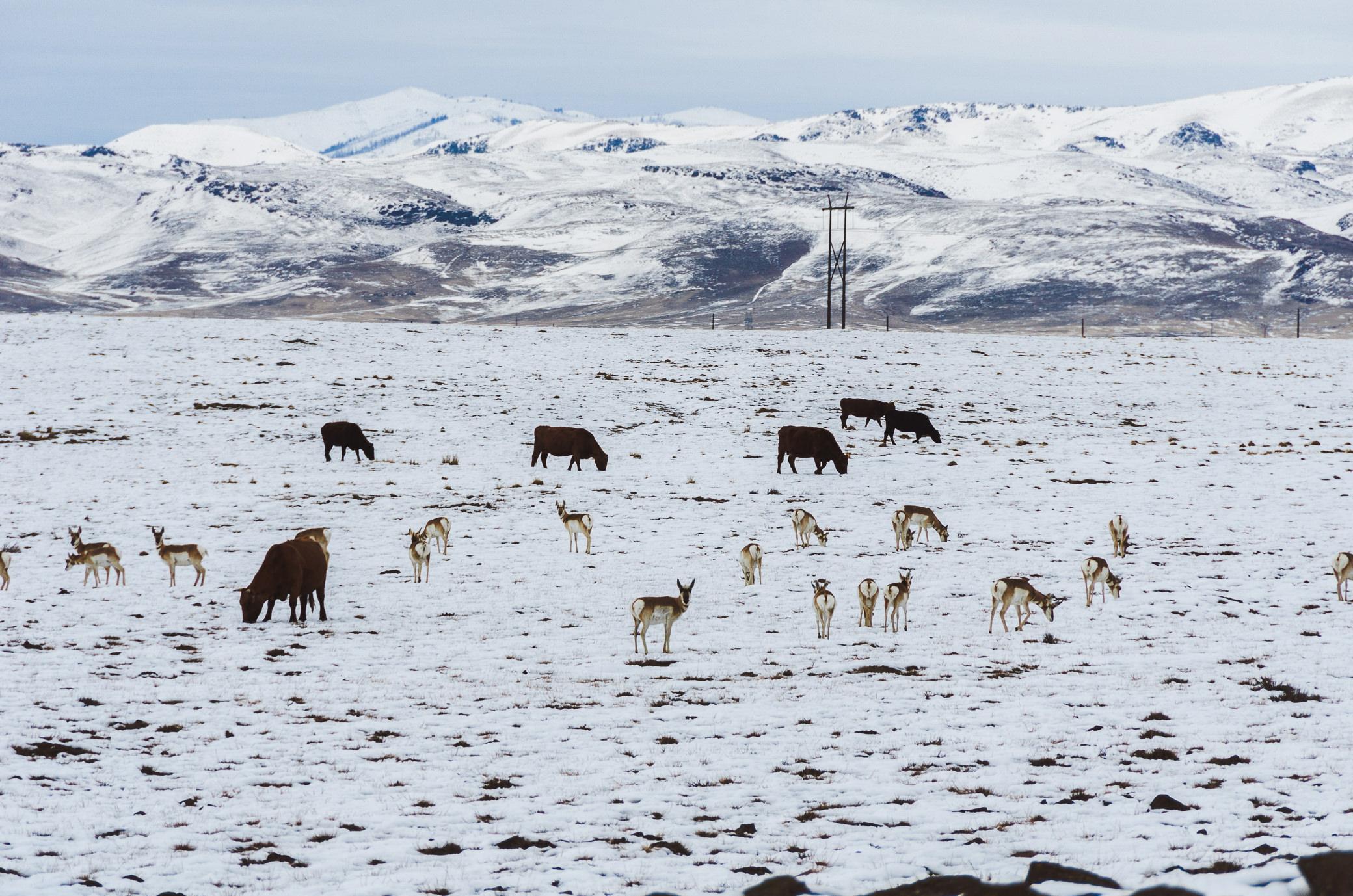 Pronghorn Antelope Idaho City Boise Winter Roadtrip Miranda Kelton Photography