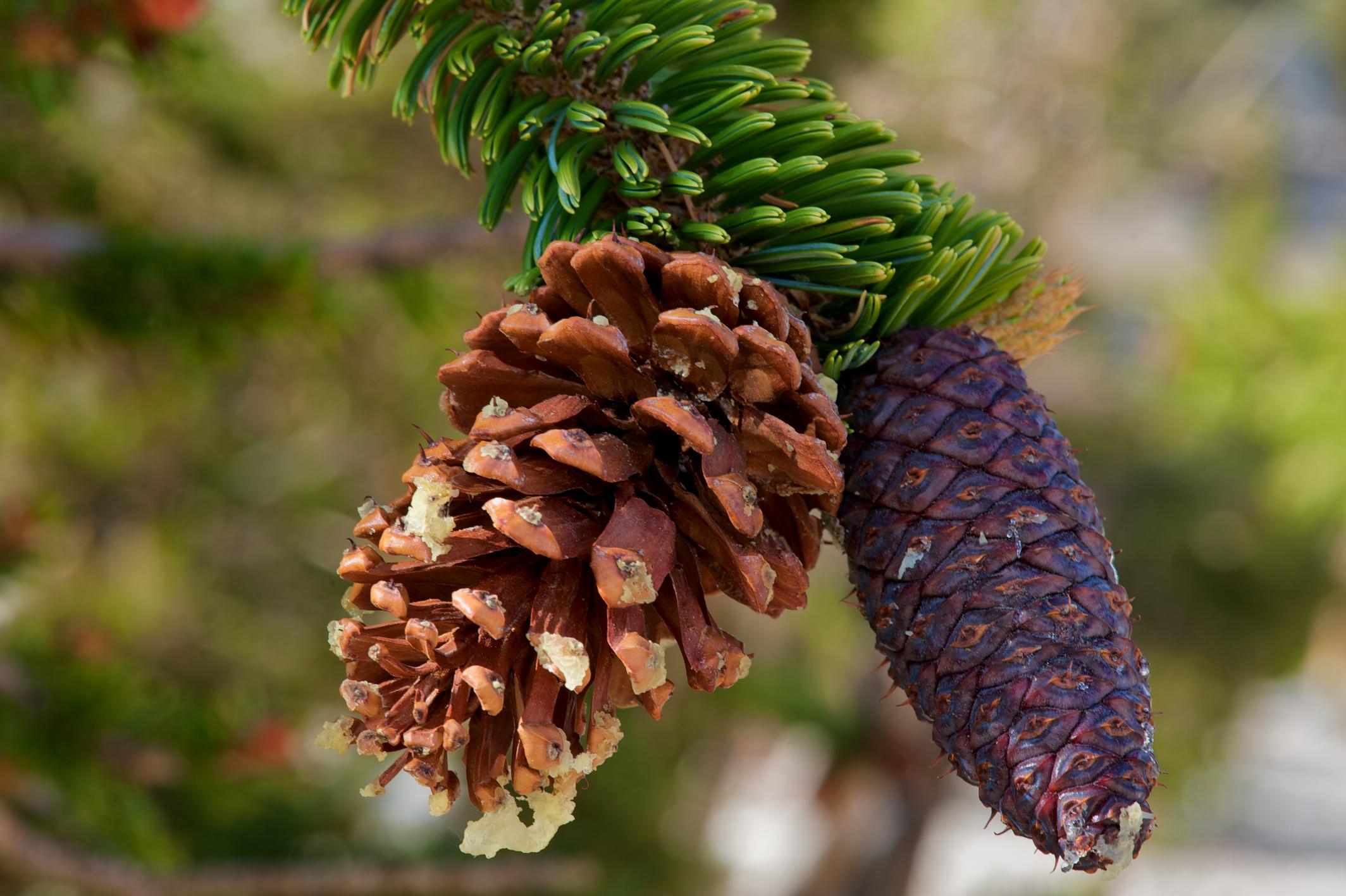 6486 Female Bristlecone Pine Cones.jpg