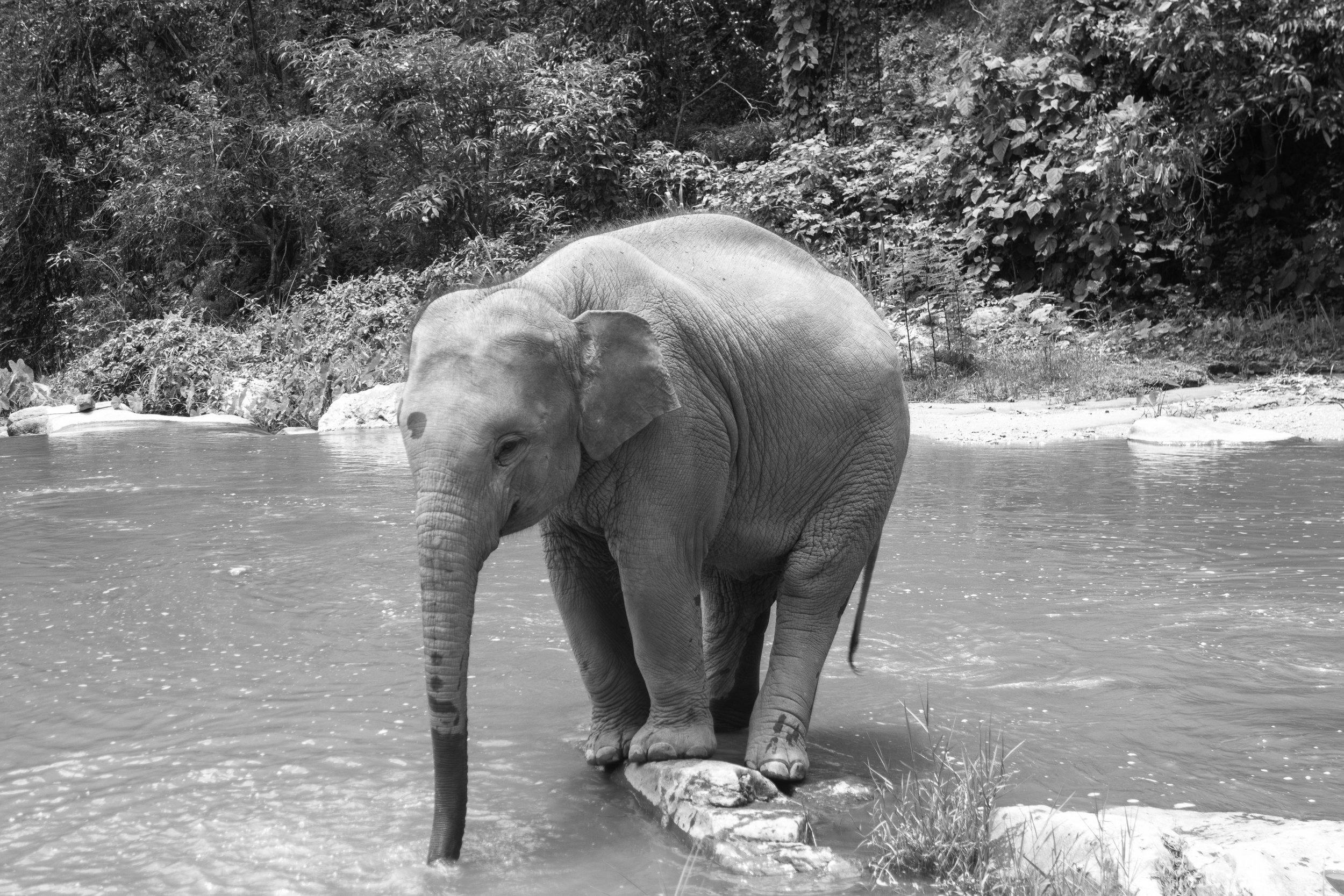 The-world-of-elephants-black-and-white-Thailand-playful.jpg