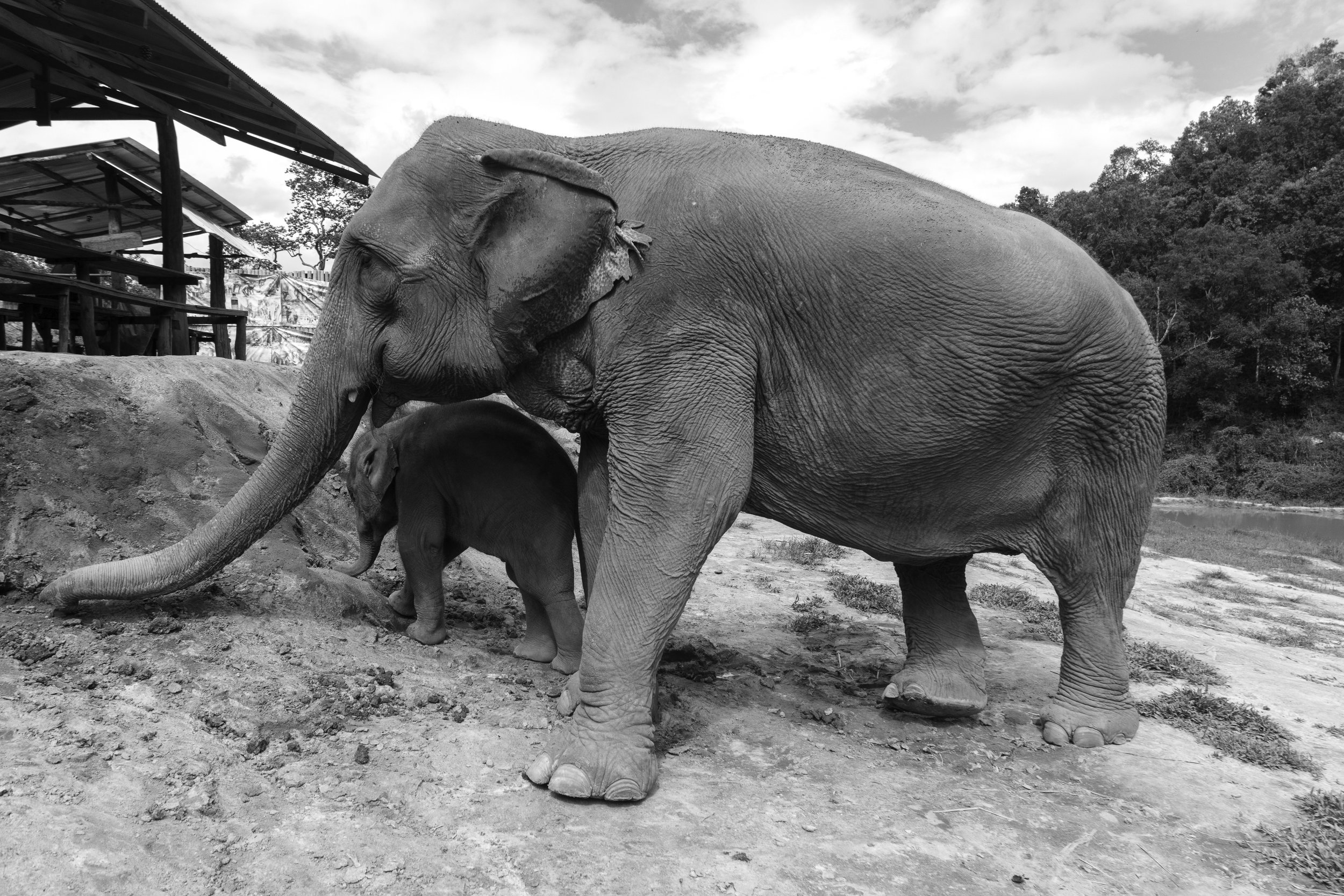 The-world-of-elephants-black-and-white-Thailand-mom-and-baby.jpg