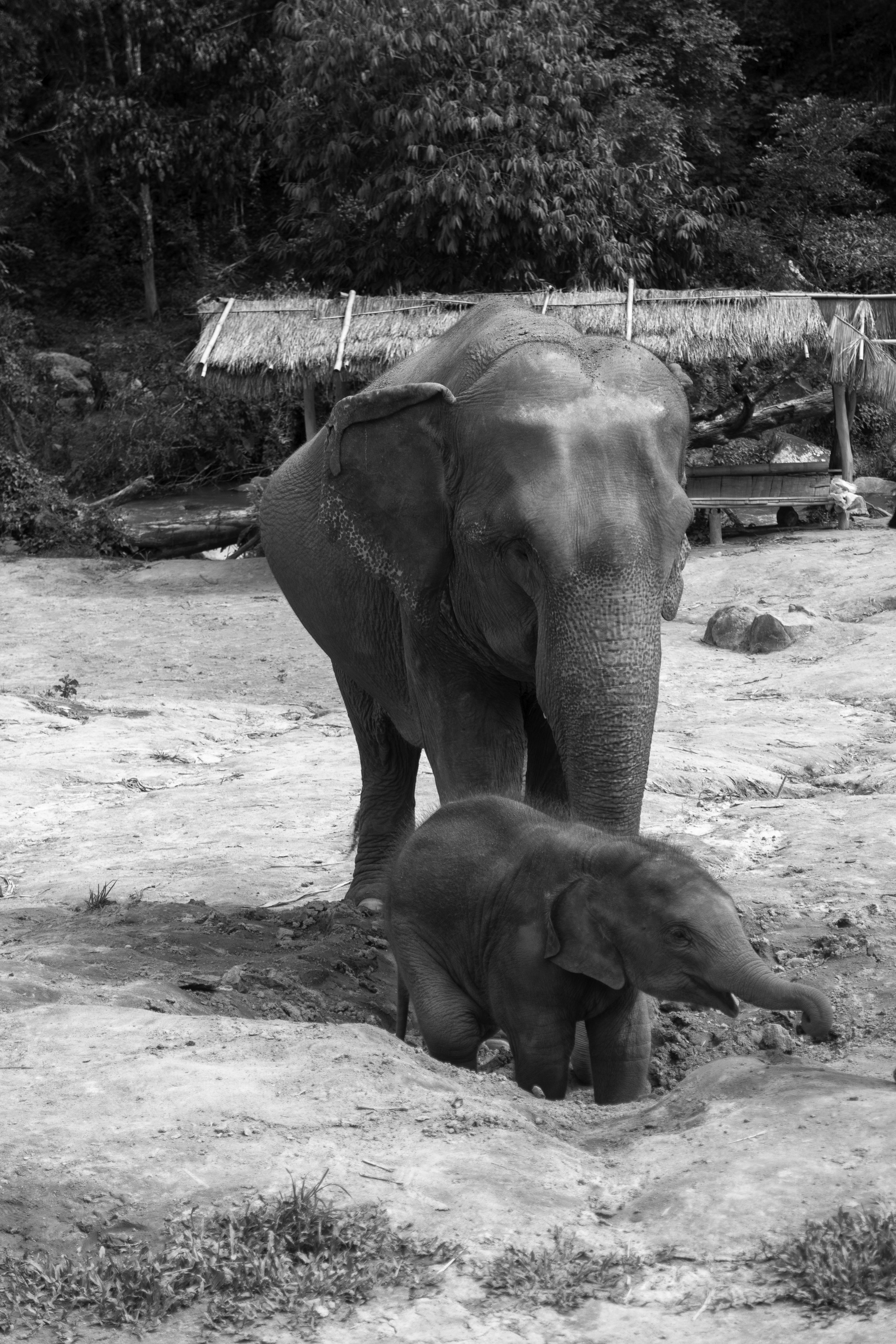 The-world-of-elephants-black-and-white-Thailand-two-of-a-kind.jpg
