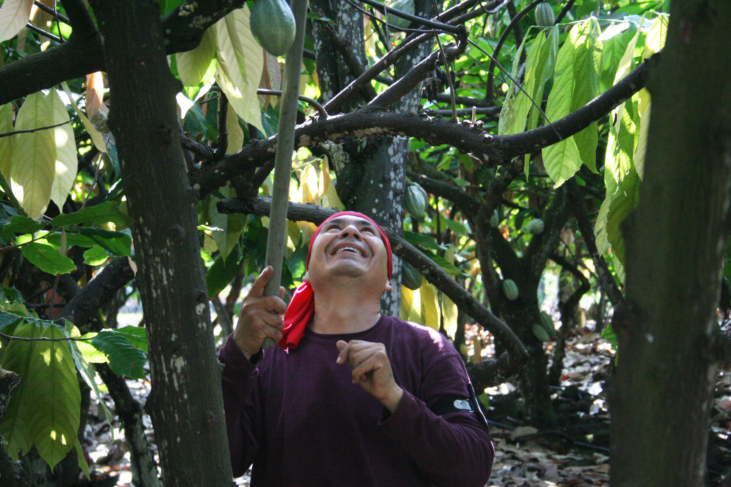 Harvesting cacao at Original Hawaiian Chocolate