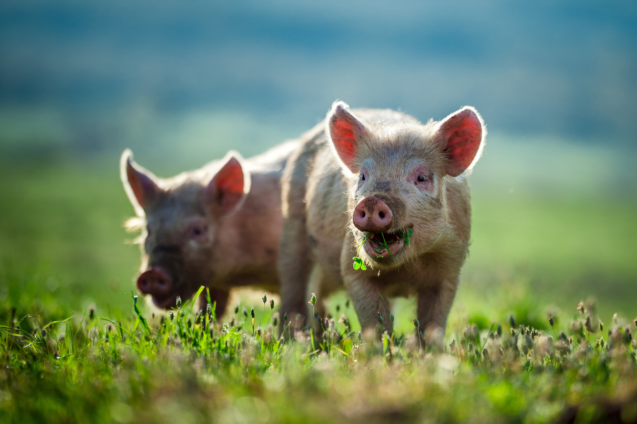 happy piglets.jpg