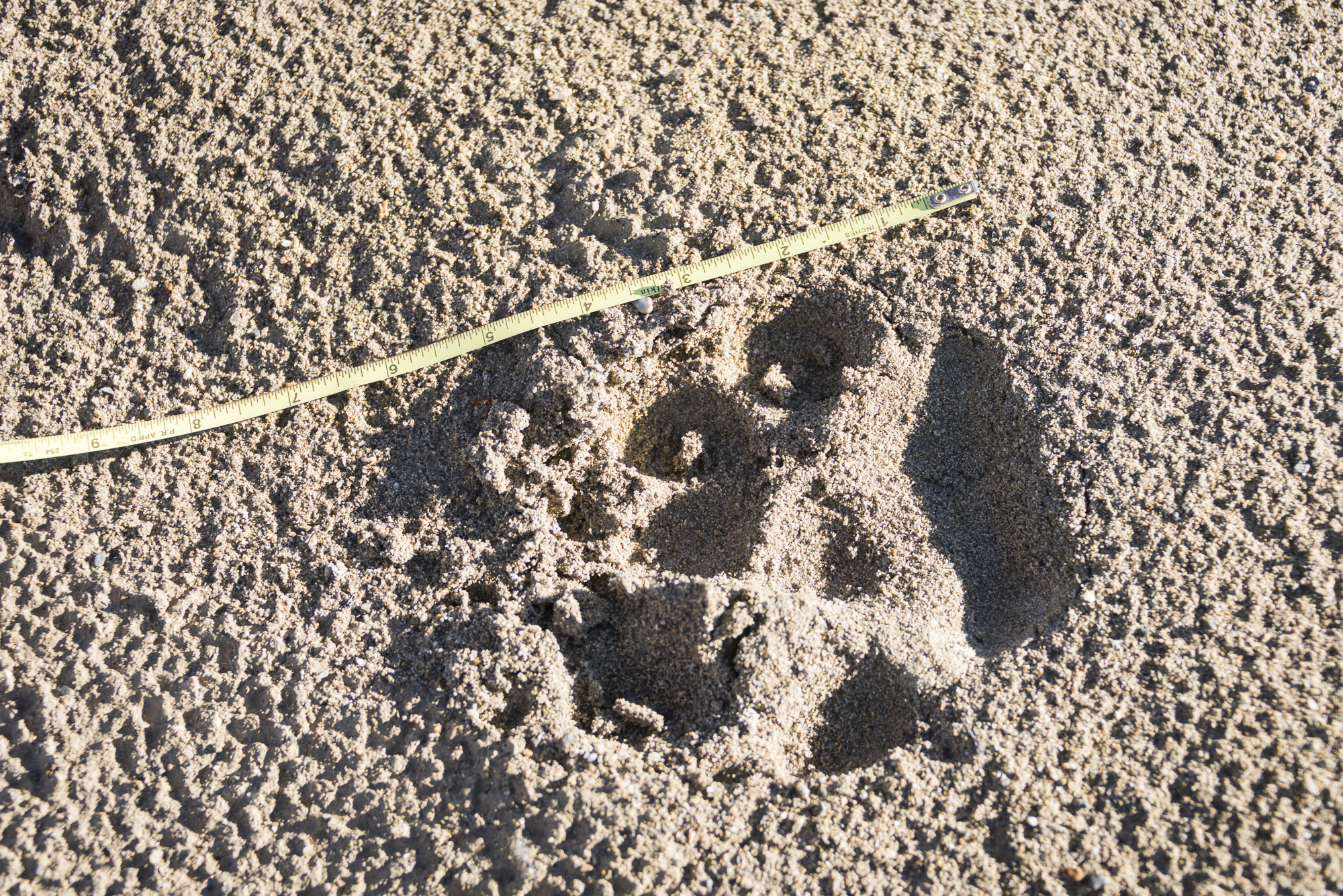 """Wolf print: 6.5"""" (16.5cm) from heel to toe."""