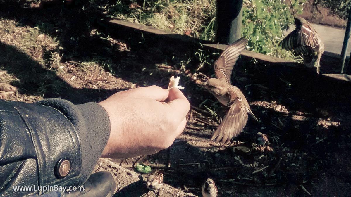 Steve feeding the sparrows.