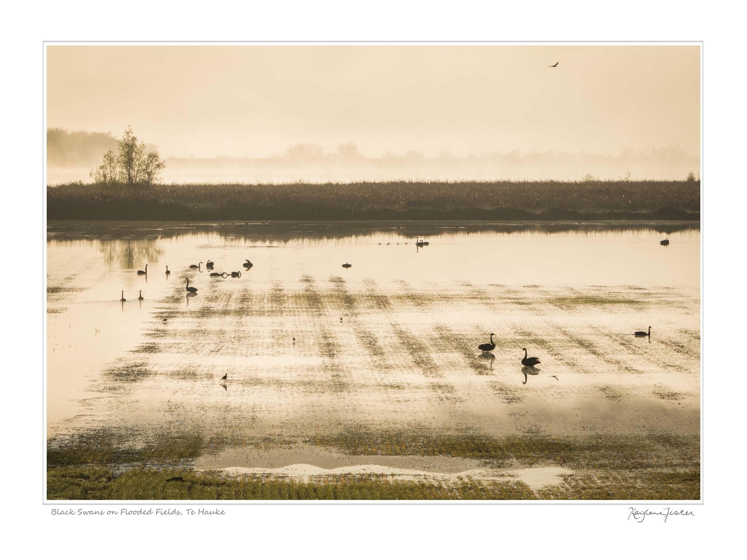 0061:4947 Black Swans on Flooded Fields, Te Hauke