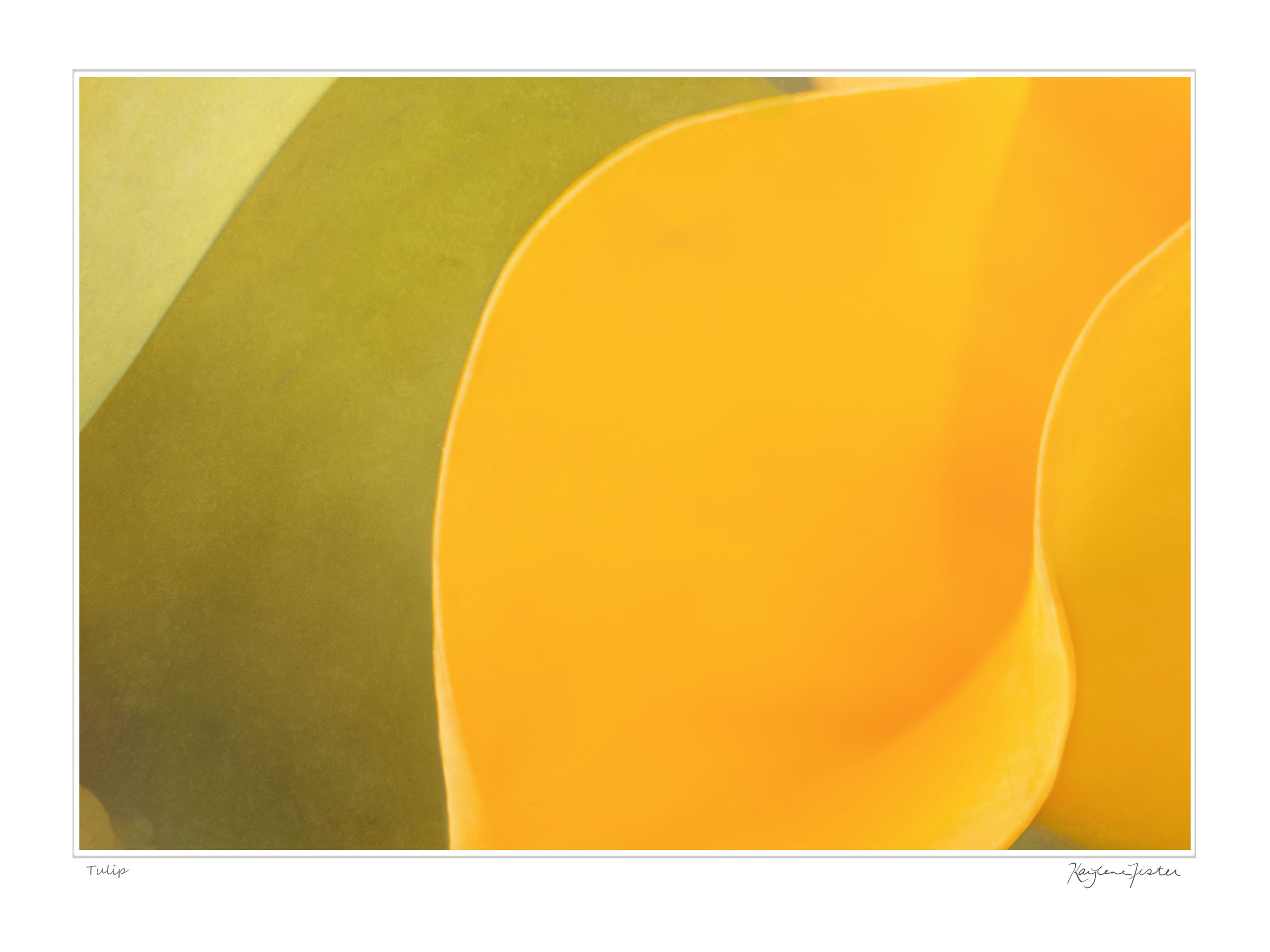 0084:6773a Yellow Tulip