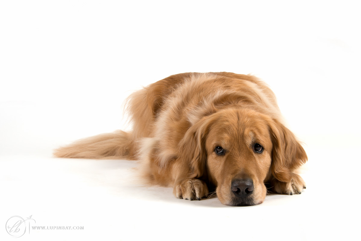 LupinBay Pet Portraits Golden Retriever Dog