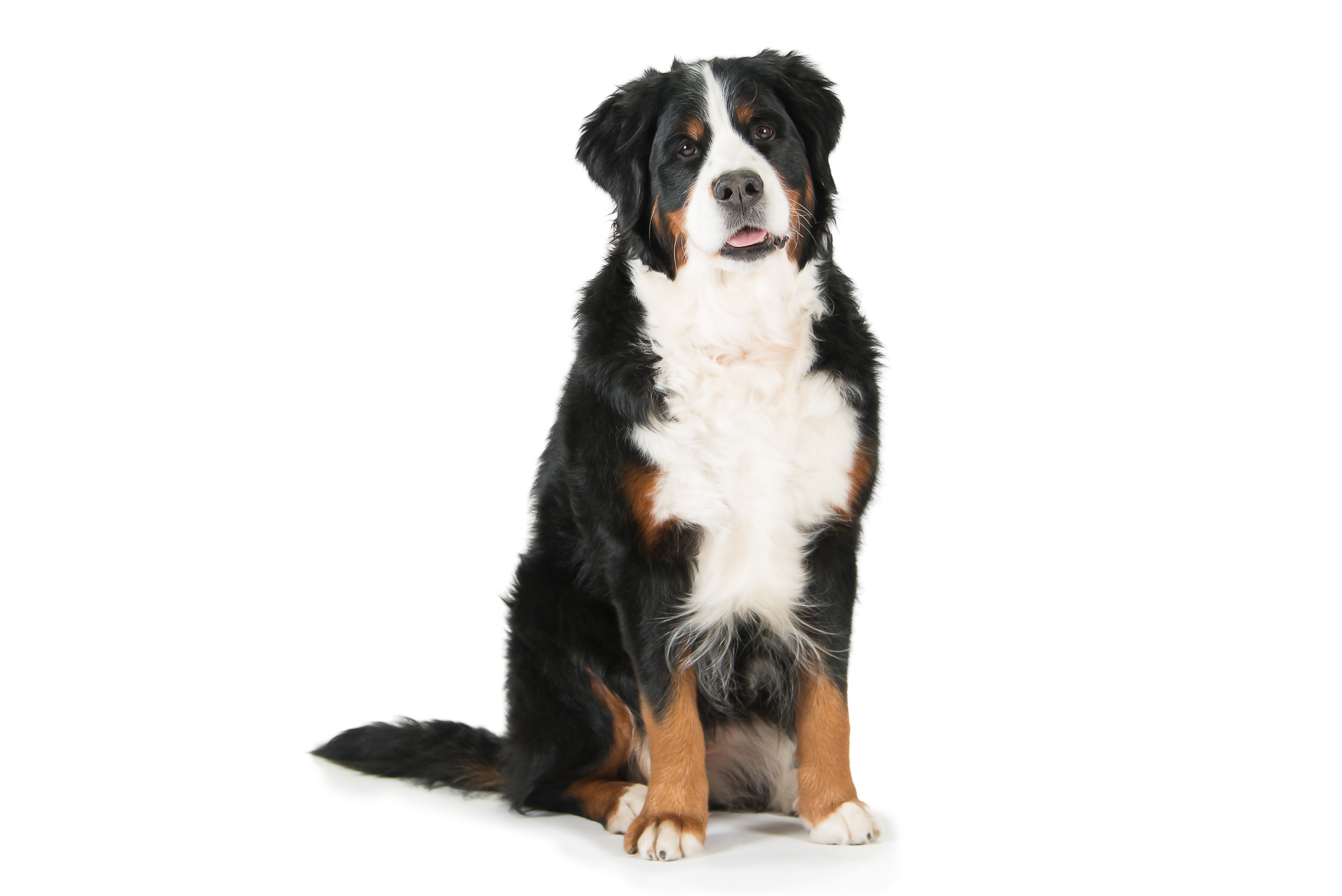 LupinBay_Bernese _Mountain_Dog-SK4529.jpg
