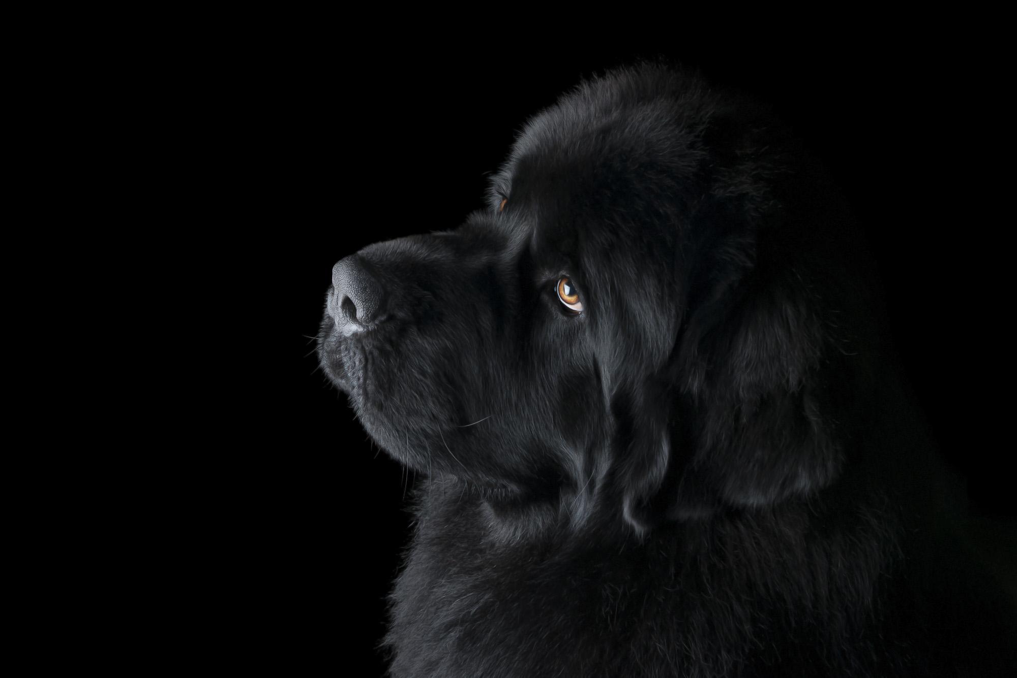 LupinBay-0122-Newfoundland-Dog-NZ-Champion-Miquelon-Rolls-Royce-Phantom-Pet-Photography-2251.jpg