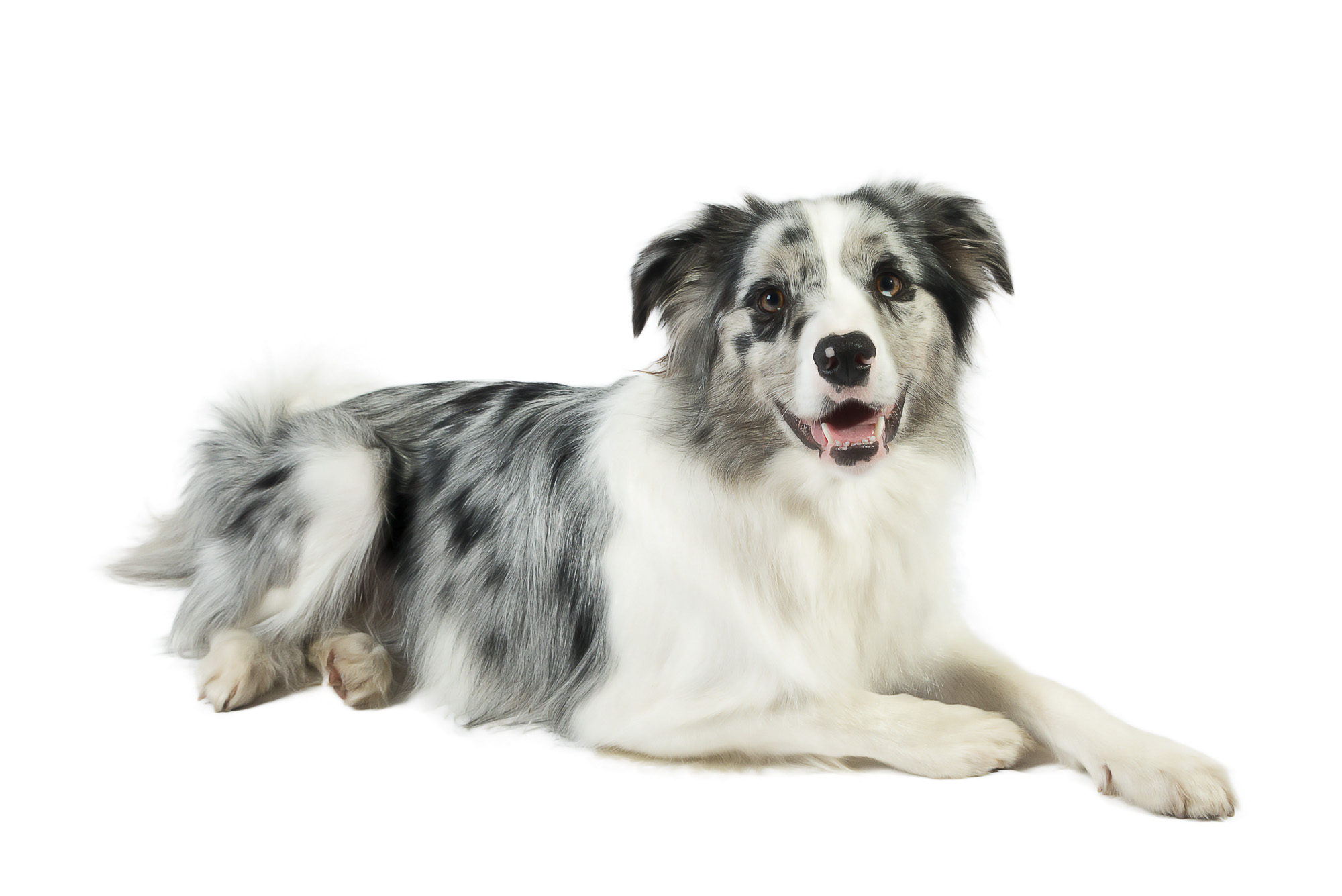 LupinBay-0124-2534-Border-Collie-Blue-Merle-Dog-Pet-Photography.jpg