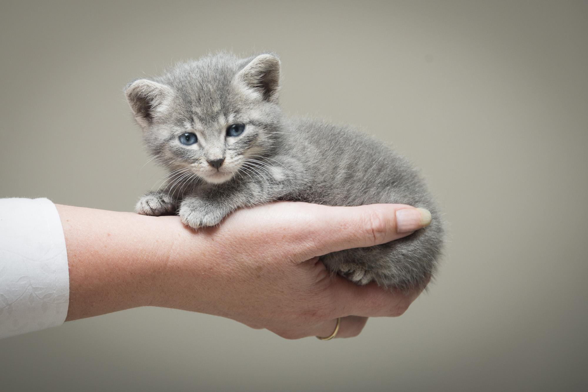 LupinBay-0116-Gray-Kitten-Pet-Photography-1263.jpg