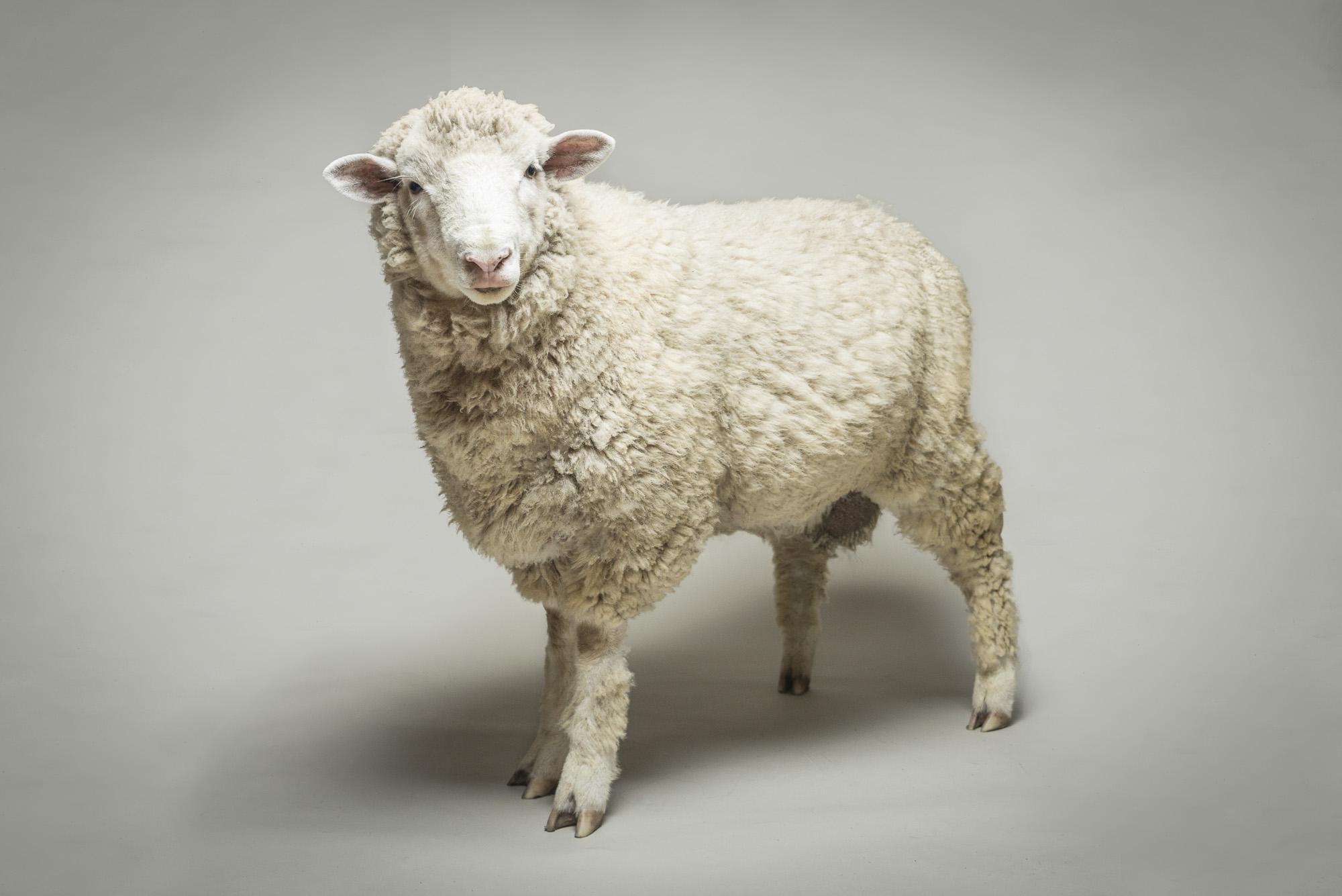 LupinBay-0116-Sheep-Ram-Pet-Photography-1227.jpg