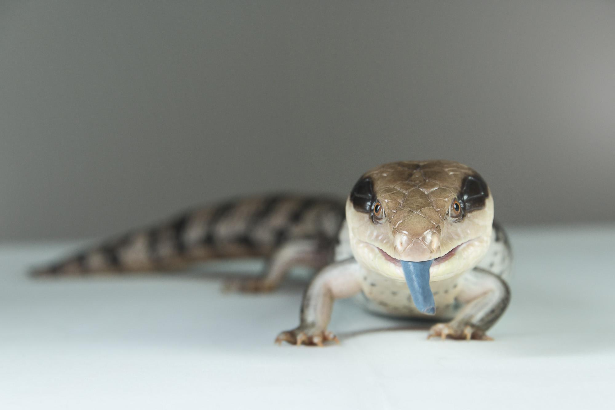 LupinBay-Blue-Tongued-Lizard-0131-3152.jpg