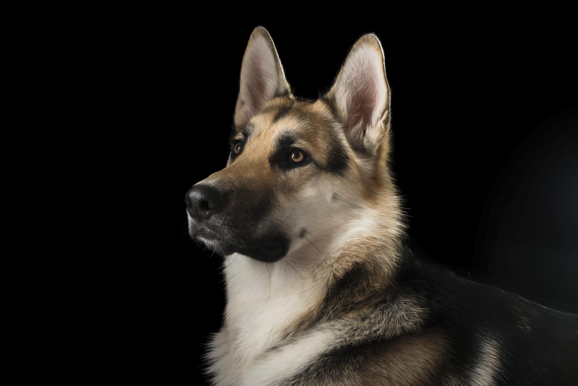 LupinBay-Dog-German-Shepherd-0142-4021.jpg