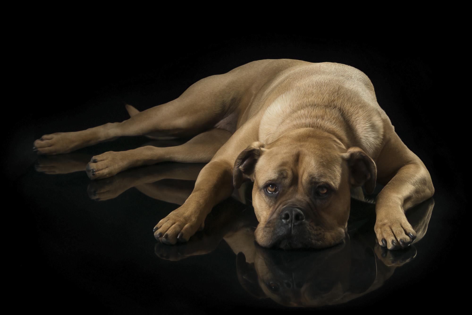 LupinBay-Dog-Mastiff-0143-3908.jpg