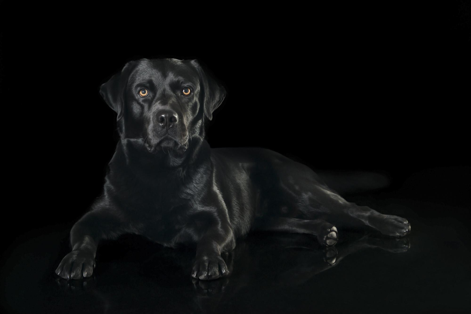 LupinBay-Black-Labrador-Retriever-Dog-Photography-0154-4904.jpg