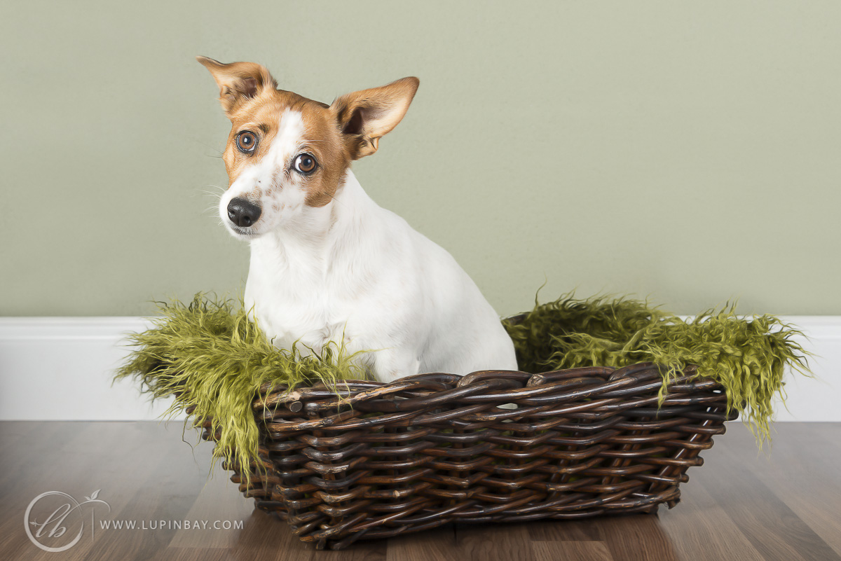 LupinBay-Jack-Russell-Dog-Photography-0152-4966.jpg