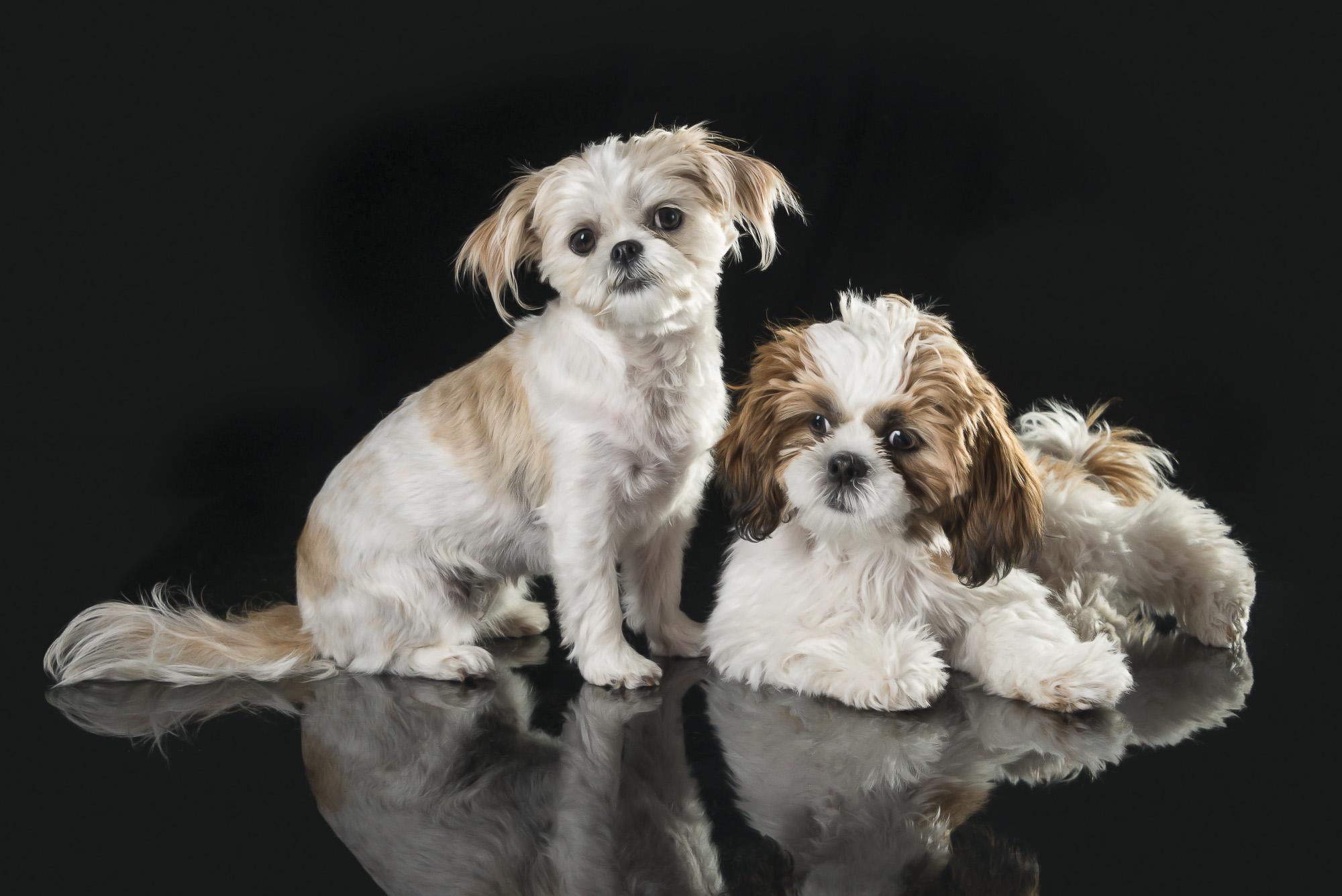 LupinBay-Dog-Pet-Photography-Shih-Tzu-Griffin-Toy-Poodle-0160-5495.jpg