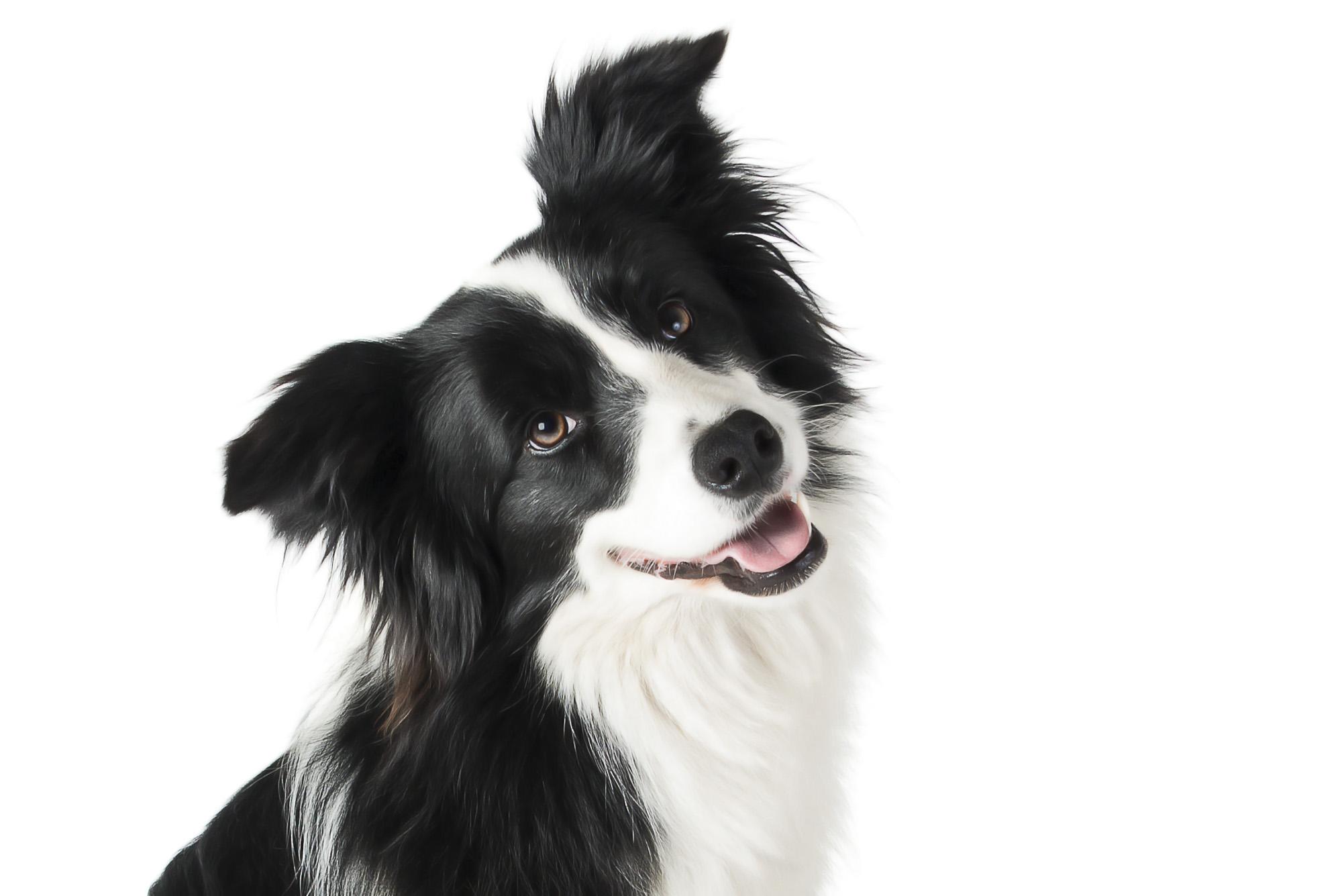 LupinBay-Border-Collie-Dog-Photography-0159-5362.jpg