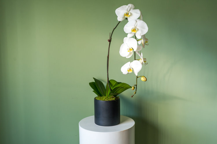 Caring for Your Orchid Friend (A Beginners Guide