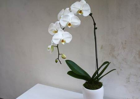 BD25 Luxe White