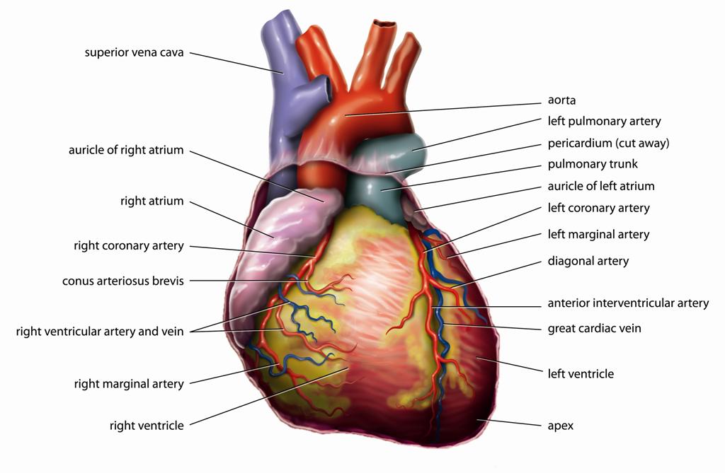 Das Herz besitzt sehr interessante Eigenschaften.