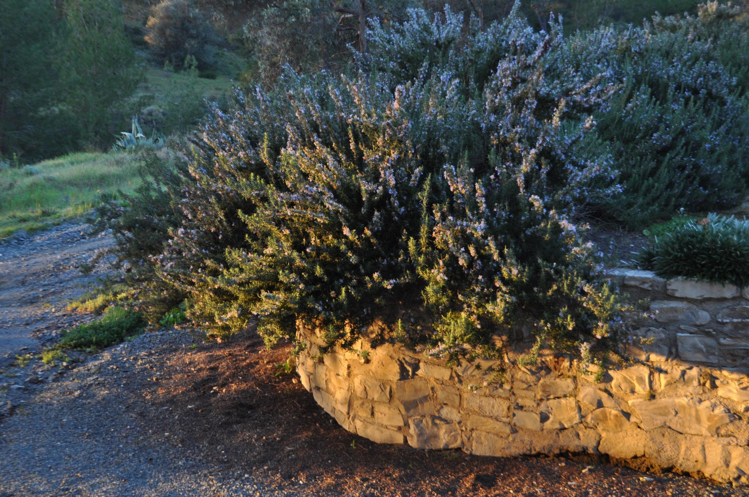 Rosemary hedge.JPG