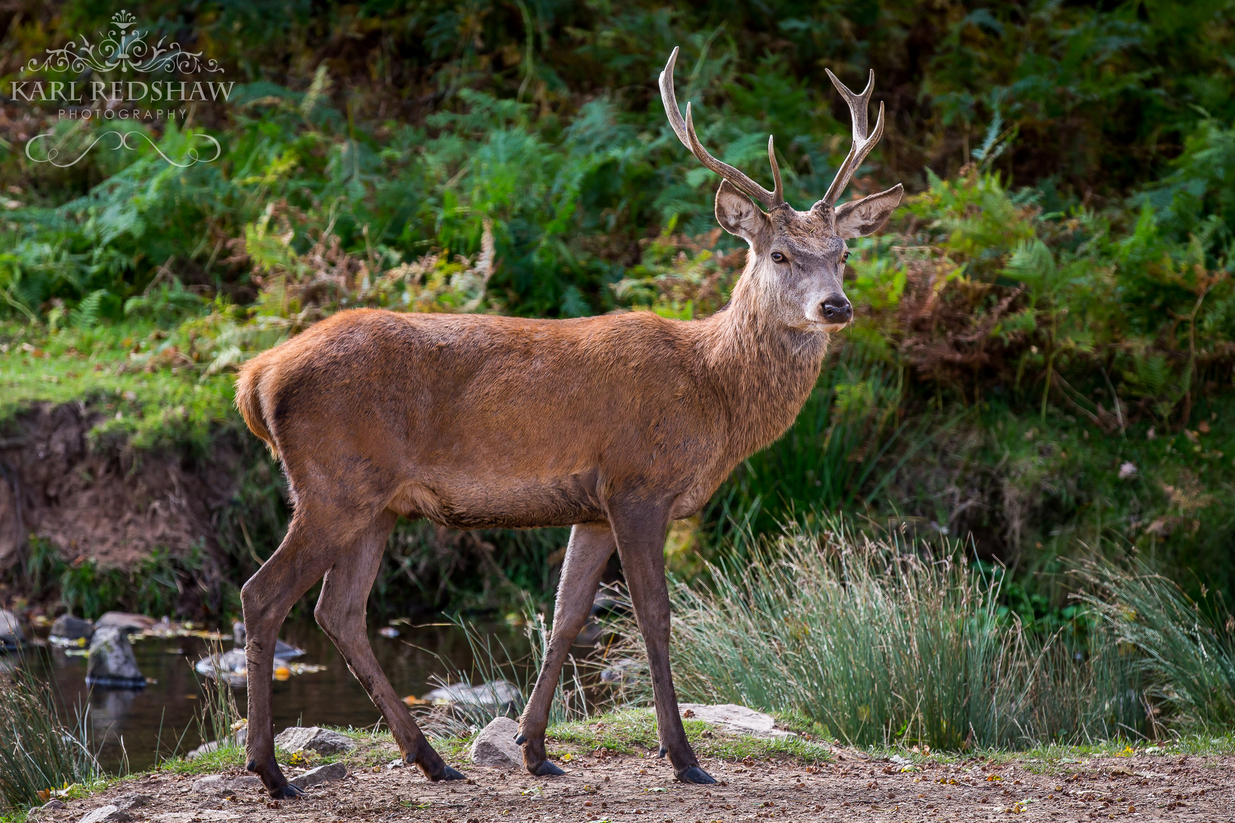 Red Deer Stag, Lucky moment captured just 8 ft away