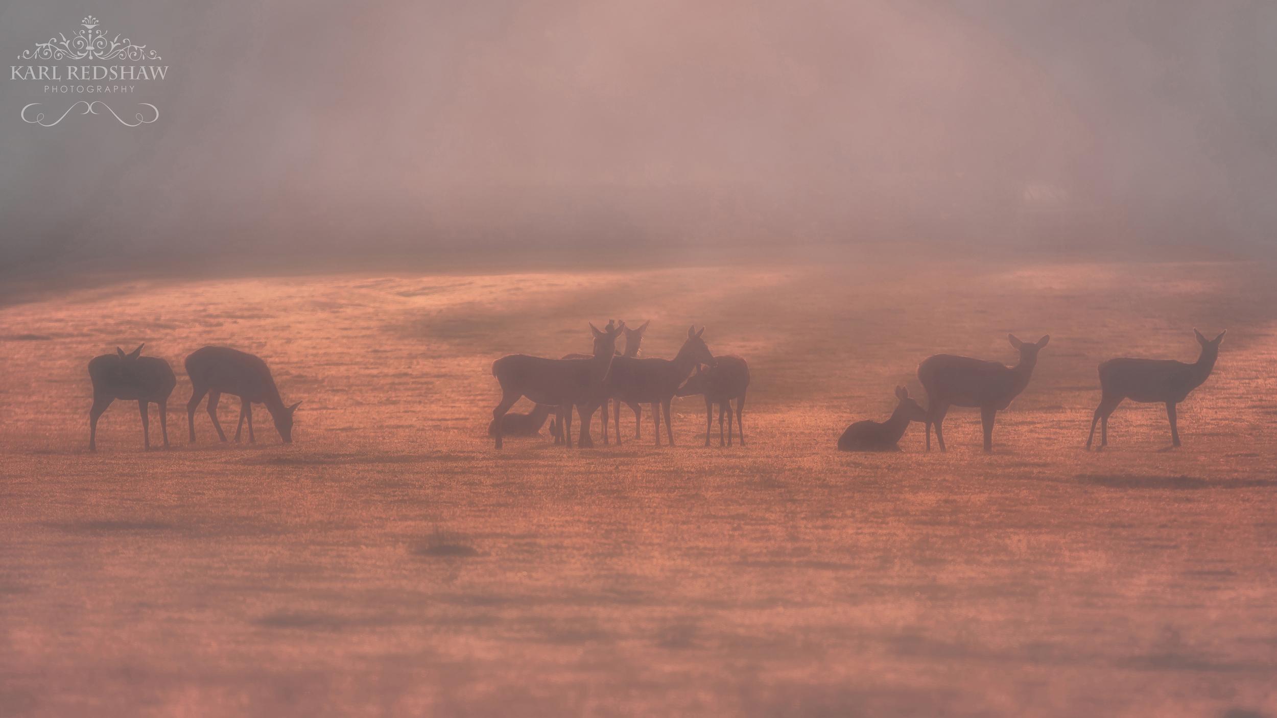 Sunrise Over Red Deer Hinds