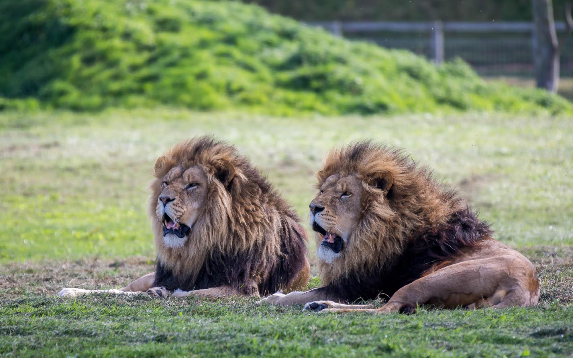 Pair Male Lion
