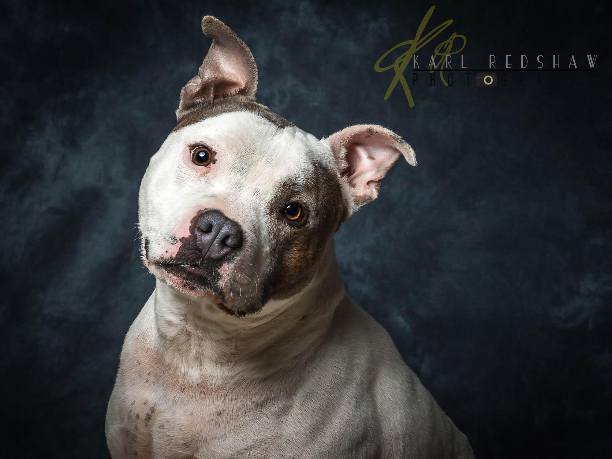 """Staffordshire Bull Terrier """"Oban"""""""