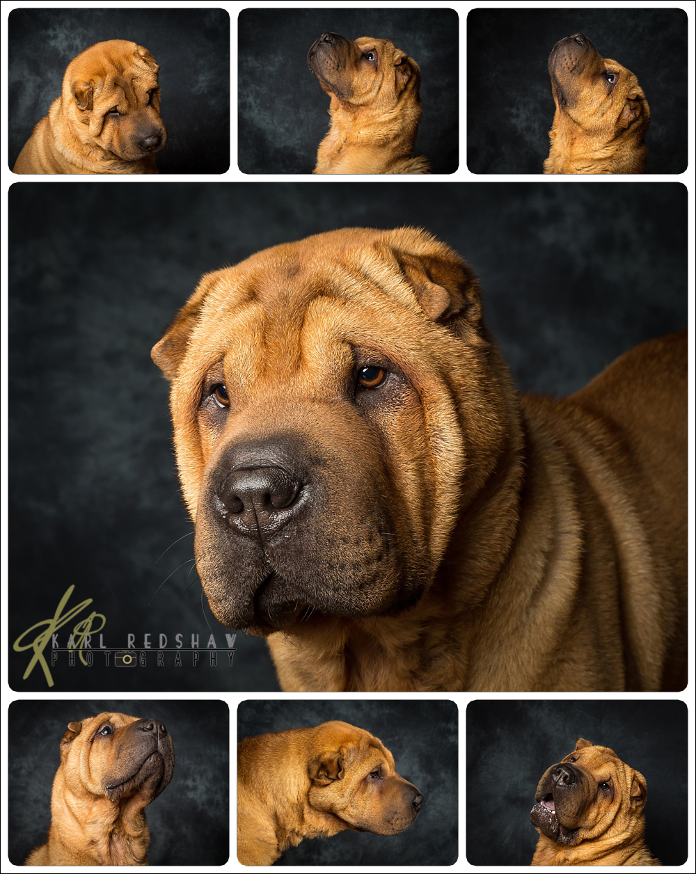 Dexter The Sharpei