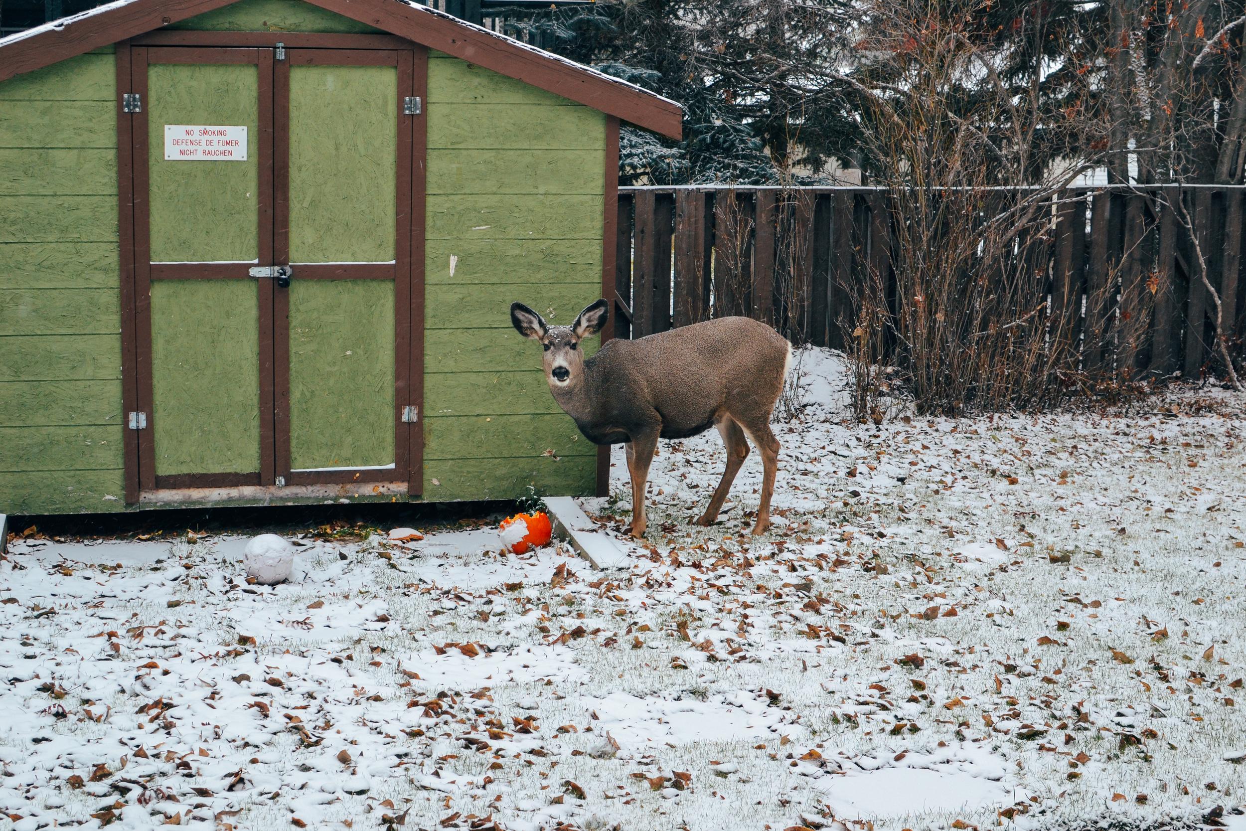 billie norman elk banff canada
