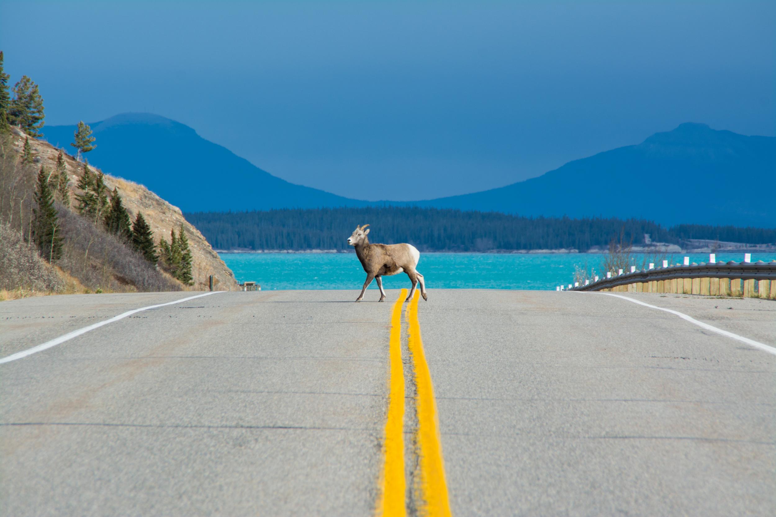 bighorn sheep clearwater county sam hobley