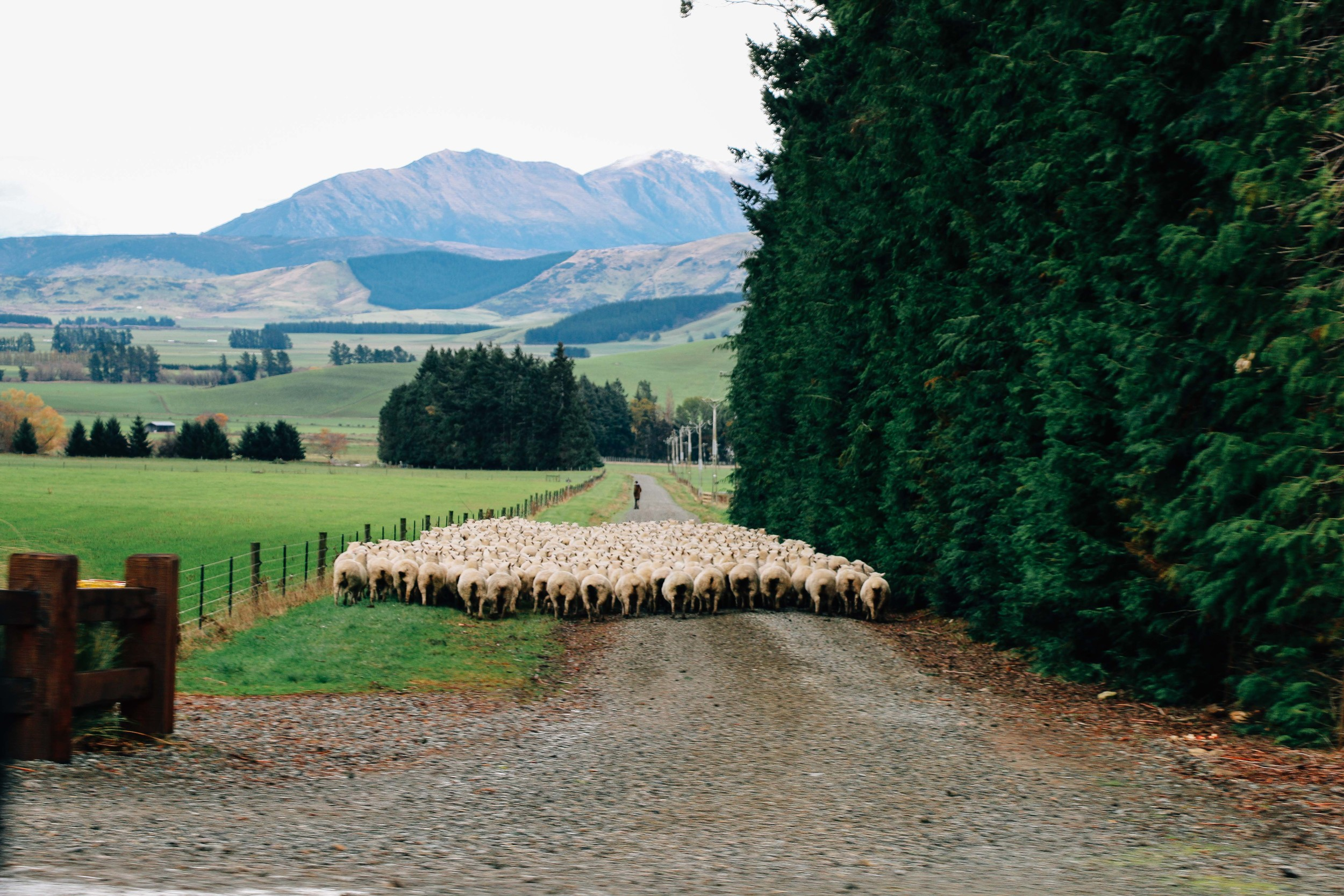Sheep South Island New Zealand Voyage Collective Shelby McGill