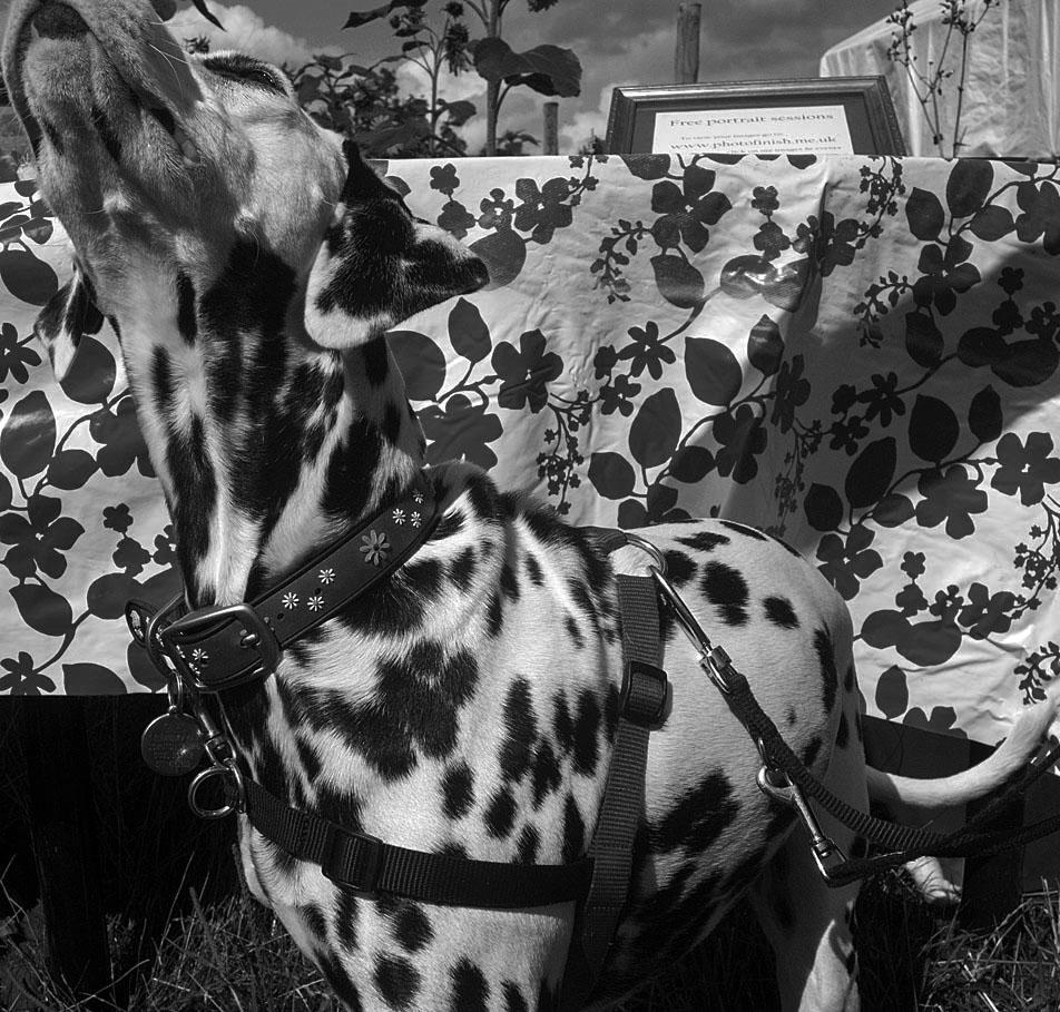 The Dalmatian Contagion                                                                  David Barrett