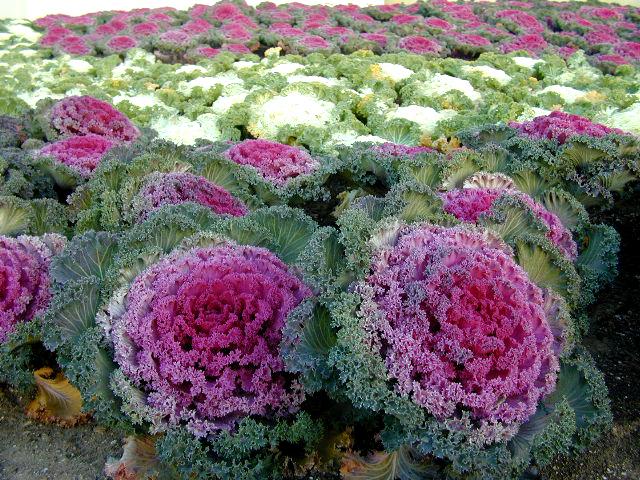Cabbage copy.jpg