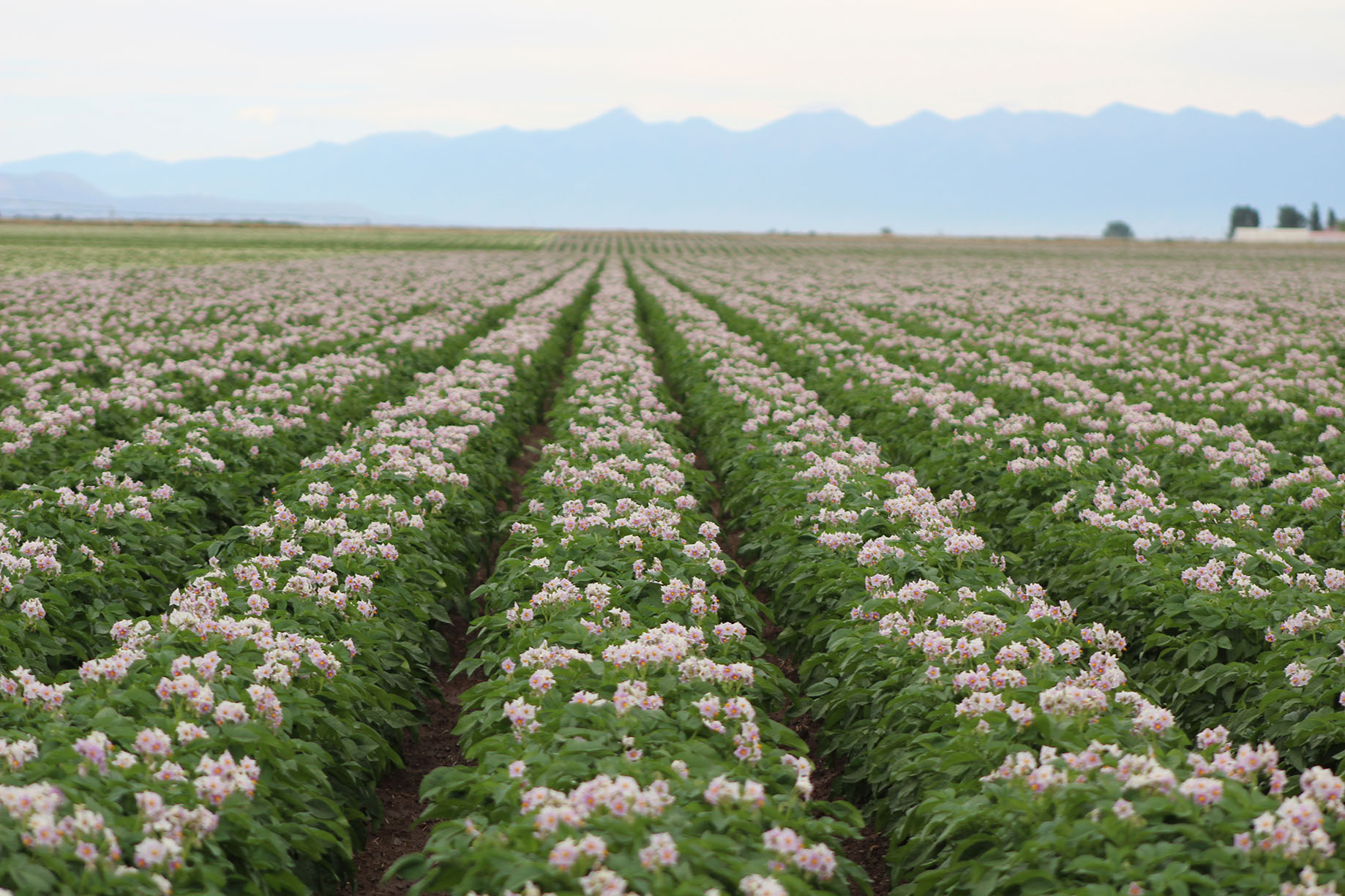 Potato rows: can agriculture teach us an architectural lesson?
