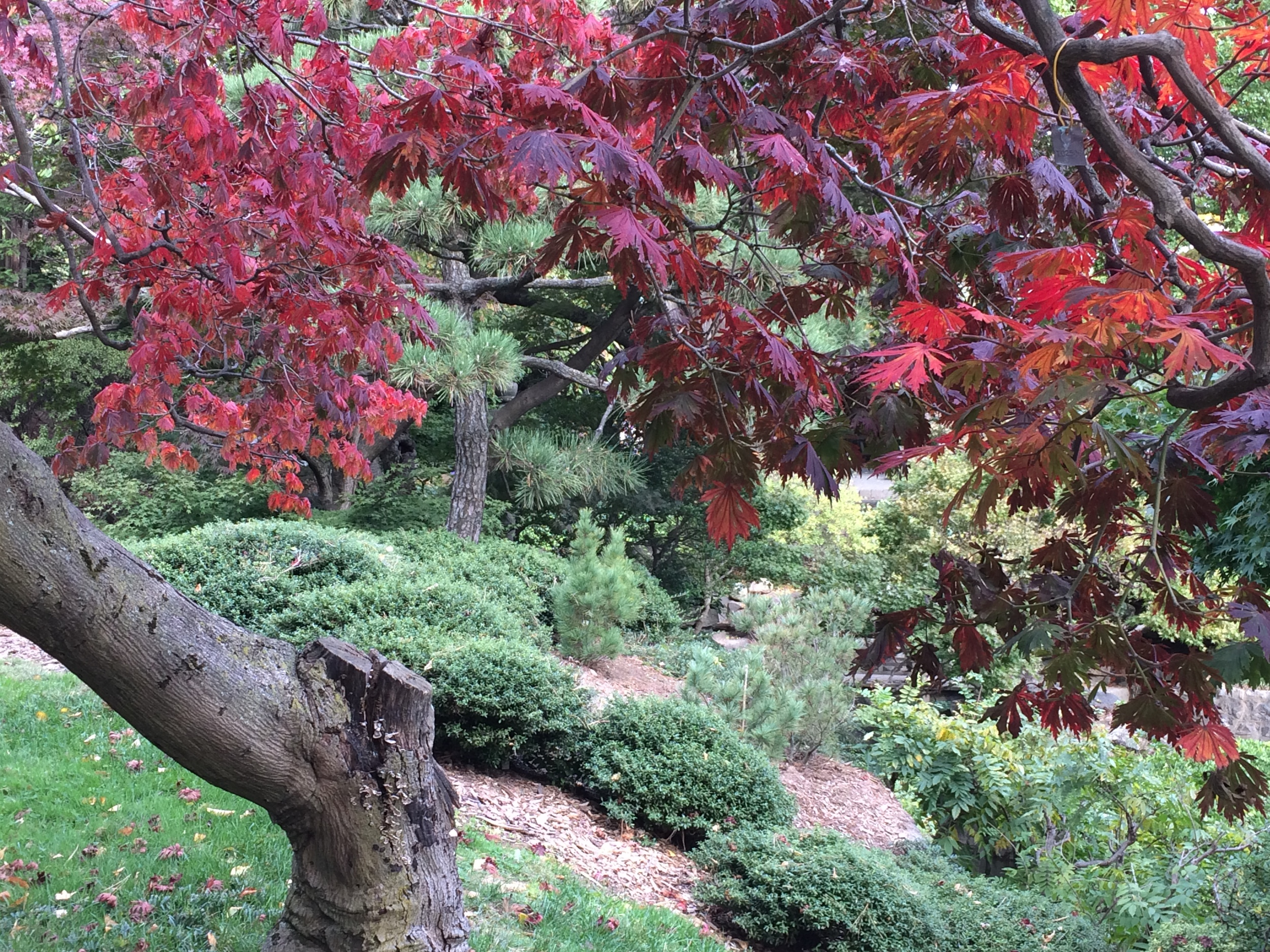 A Japanese Maple ( Acer palmatum )