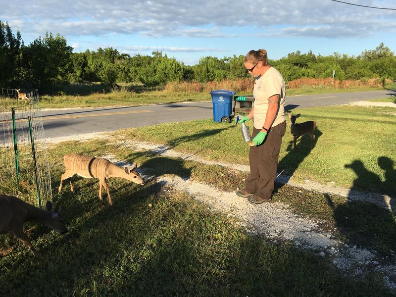 Katrina Marklevits from the U.S. Fish and Wildlife Service lures in a Key deer with pieces of fruit so she can give it a piece of bread treated with medicine to protect it from screwworm. Photo by Nancy Klingener.
