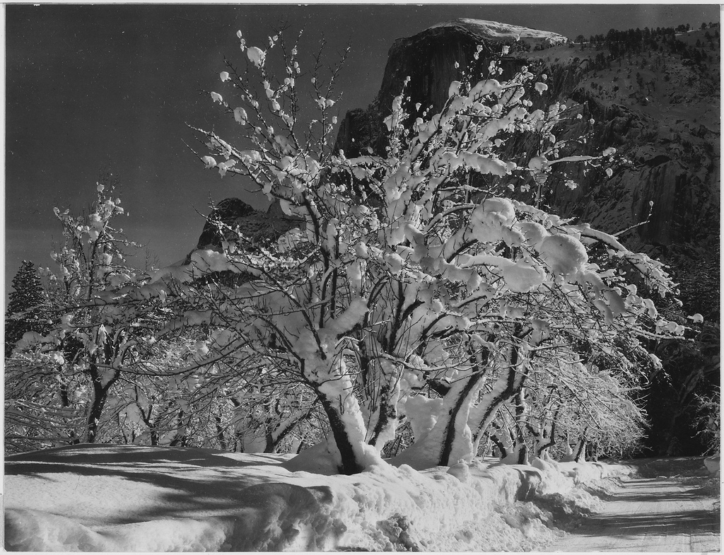 """Trees with snow on branches, """"Half Dome, Apple Orchard, Yosemite,"""" California. April 1933. Ansel Adams"""