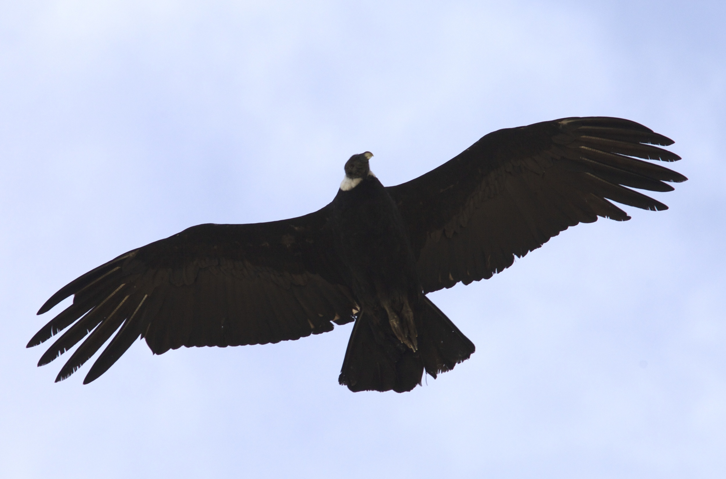 Condor 1.jpeg