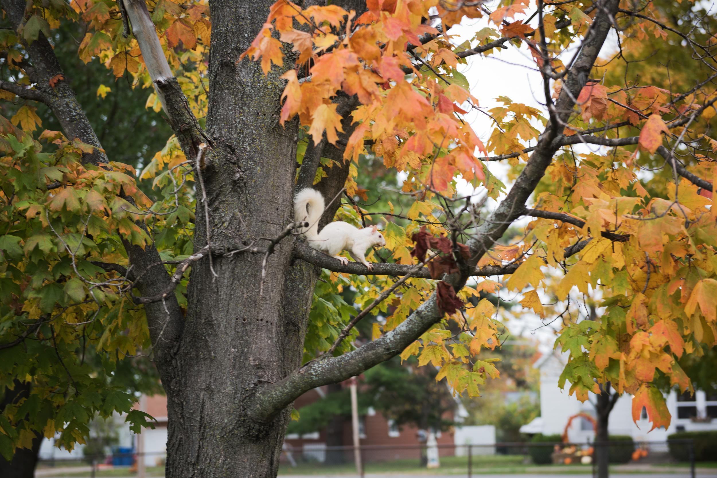 white-squirrel-olney-Illinois