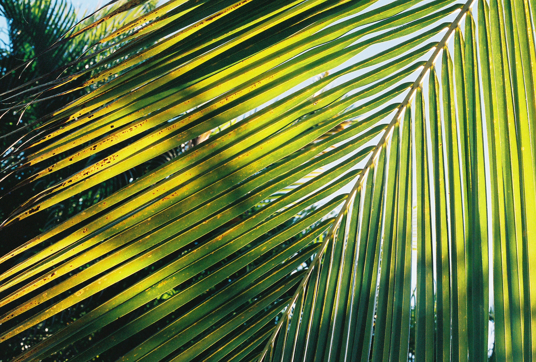 Dominican-palm-leaf