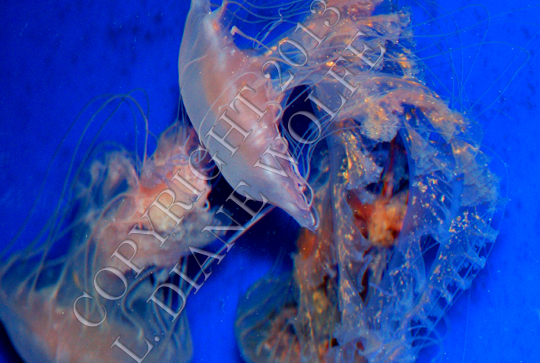 Dancing with the Jellies