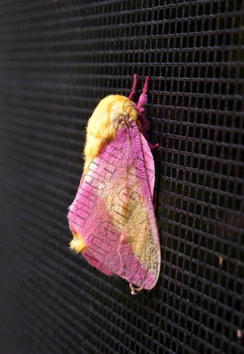 Painted Fairy Moth